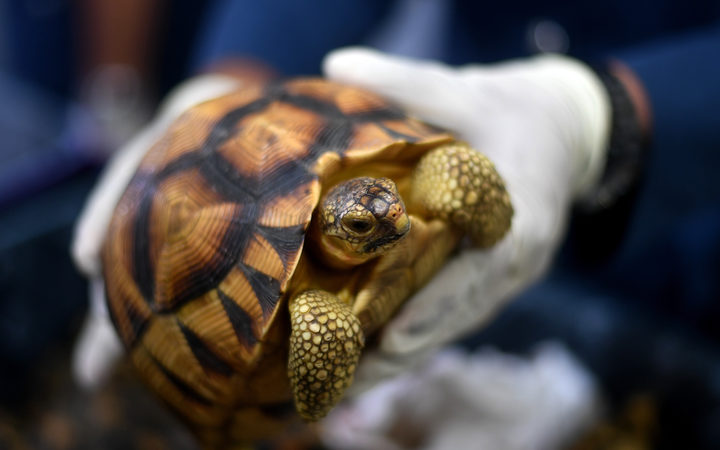 A Malaysian airports customs official shows a seized endangered ploughshare tortoise following a press conference at the Customs Complex in Sepang on May 15, 2017.