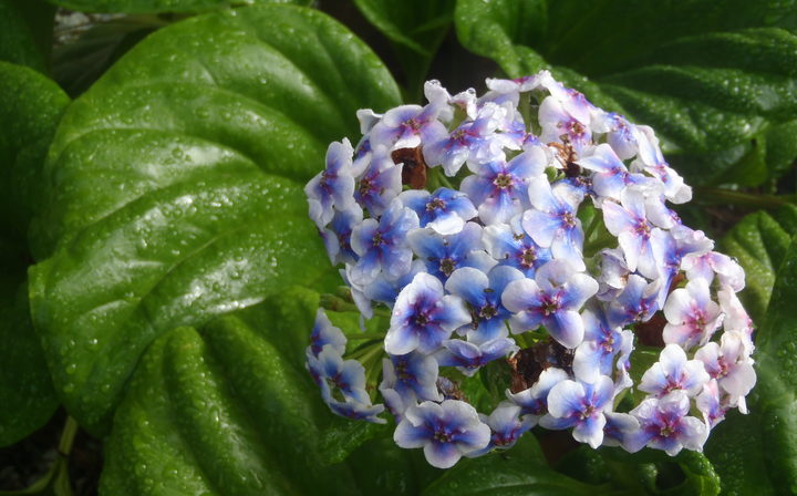 The Chatham Islands Forget-me-not