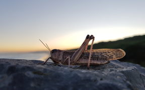 Twilight locusts
