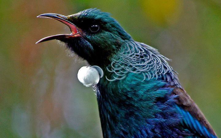 Flap battles: Tuneful rivals ruffle tui's feathers