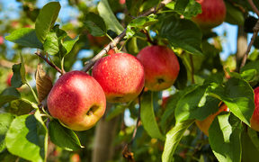A file photo shows apples on a tree