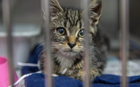A kitten waiting to be desexed at an Auckland SPCA.