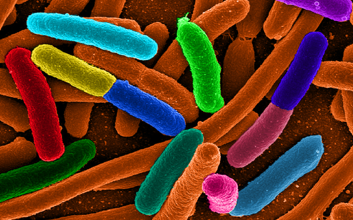 Escherichia coli - one of the many species of bacteria present in the human gut