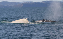 White and black humpback whales spotted in the Cook Strait.