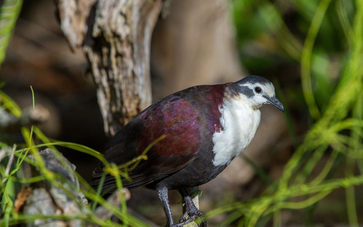 Polynesian Ground-dove.