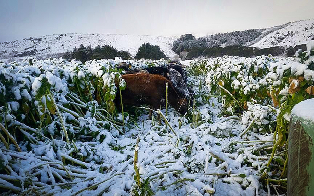 South Otago cows getting stuck into breakfast.
