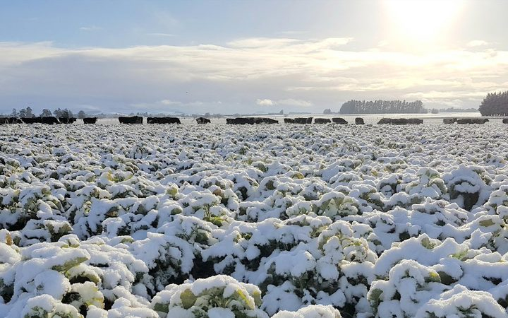 Cattle in the snow on Blair Drysdale's farm in Southland.
