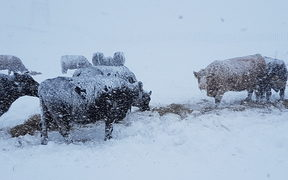 Cattle in snow near Waiouru.