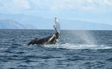 Researchers are heartened by a record number of whales counted in Cook Strait in 2015.