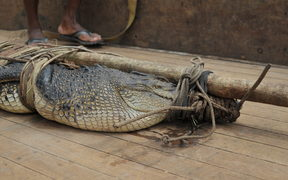 A saltwater crocodile caught in Solomon Islands. 23/11/2010