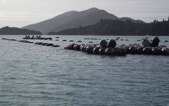 A mussel farm in Forsyth Bay in Pelorus Sound.