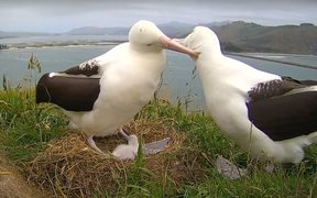 Two albatross with their sick chick at the Otago sanctuary.
