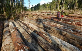 Bewani landowners walk across pile of felled logs, West Sepik Province