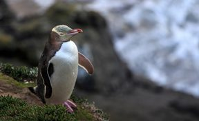 A yellow-eyed penguin at Moeraki