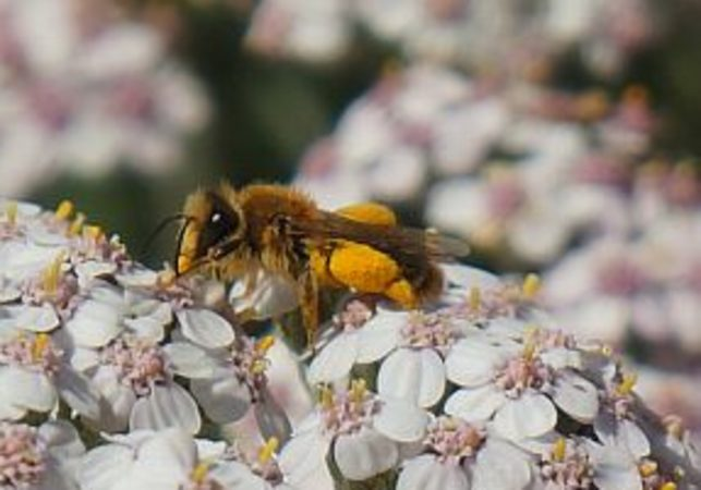 High-intensity farming cuts native bees by 90 percent