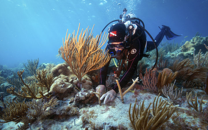 Researcher studies an outplanting of elkhorn coral in Dry Tortugas National Park.