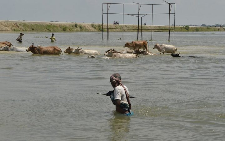 An Indian villager along with the herd of cows crosses a flooded road in Malda in