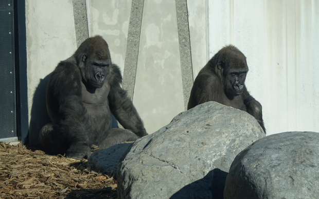 New Zealand's first gorillas have been officially unveiled at Christchurch's Orana Wildlife Park.