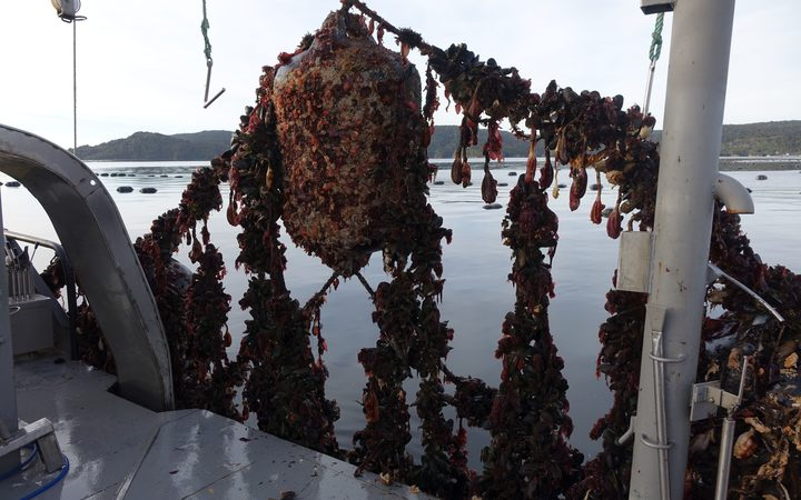 Oysters pulled up from Big Glory Bay.