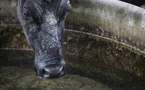 FOR WATER TAX story - Generic cow