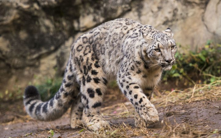 Snow Leopards Are No Longer Listed As Endangered