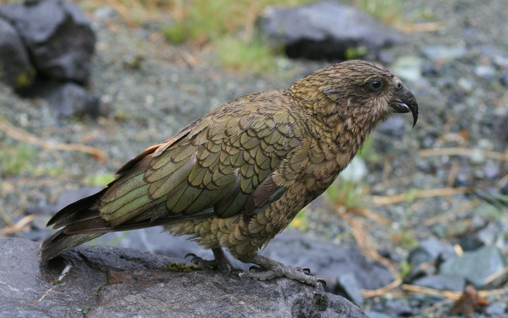 DoC is investigating reports kea in Nelson have been shot.