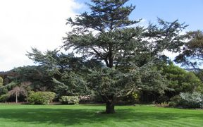 Atlantic blue cedar planted on the 15th of January, 1954 to celebrate the Royal Visit, planted by Her Majesty Queen Elizabeth II at Government House, Wellington