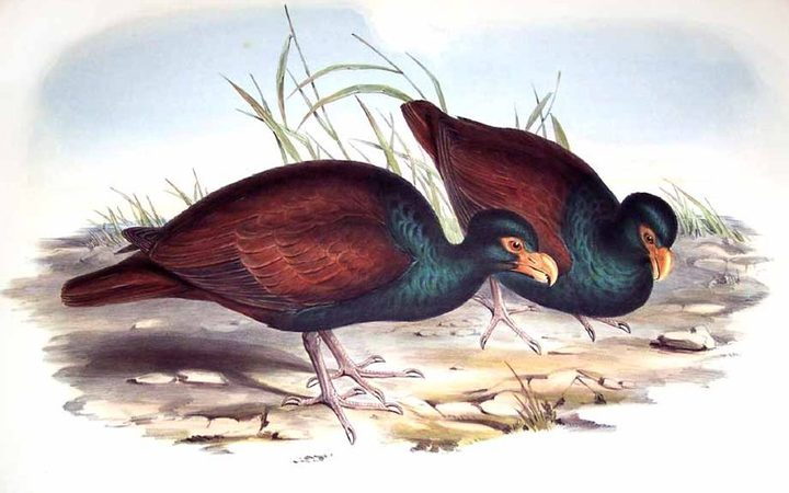 Manumea, also known as the 'tooth-billed pigeon' or 'little dodo'.