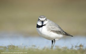 The Wrybill