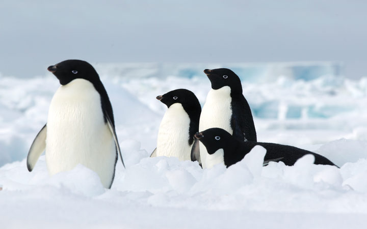 In the Antarctic massively killed the Chicks of penguins