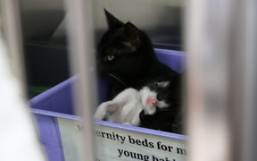 Kittens at Auckland SPCA just a few days old about half way through kitten season.