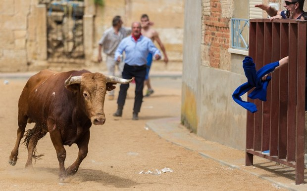 Bull in the running of the bulls in Argujillo, Spain