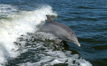 A bottlenose dolphin (file photo).