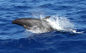 False Killer whale in the Kermadecs