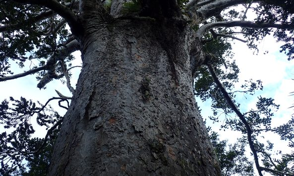 A view up the trunk of Tane Moana.