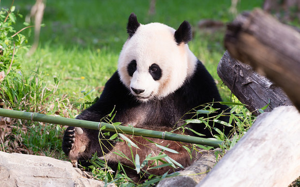 A file photo of Mei Xiang, pictured earlier this year.