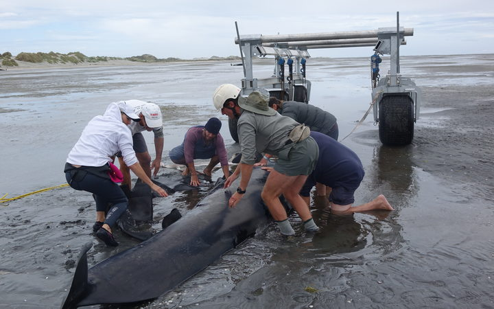 Preparing the whale to lift on Farewell Spit.