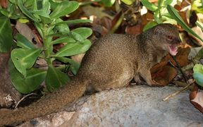 A small Indian mongoose in Hanauma Bay, O'ahu, Hawaii.