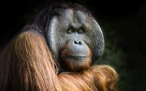 36-year-old Charlie is one of three orangutans that have just arrived at Orana Wildlife park.