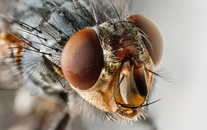 Houseflies could carry harmful bacteria