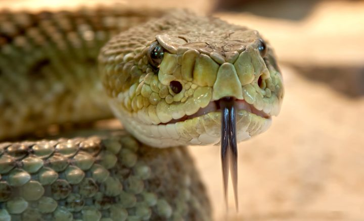 Should Snakes Be Allowed In Zoos Rnz