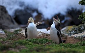 Yellow eyed penguins at Moeraki.