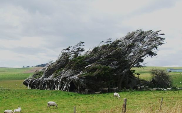 Windswept tree in Invercargill