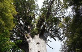 Tane Mahuta is the largest kauri known to stand todayand is thought to be between 1,250 and 2,500 years old.