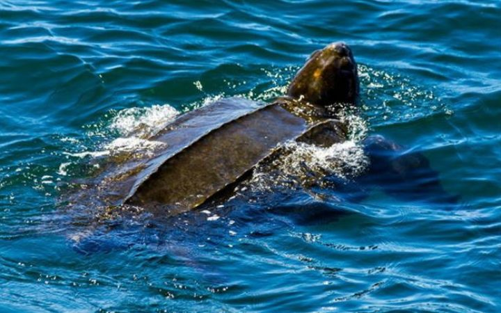 Critically endangered leatherback sea turtles are back in the bay.