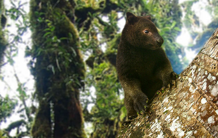 A Tree Kangaroo in Papua New Guinea.