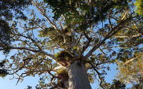 Kauri in the Waitakere Ranges
