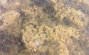 Some of the toxic algae in Lake Taupō