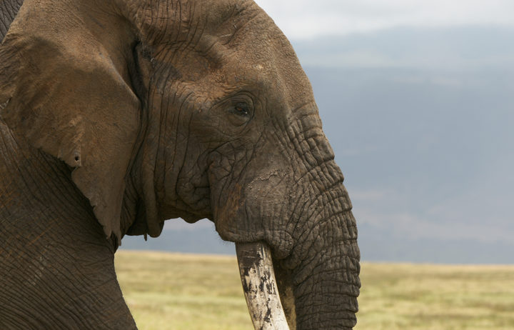 An elephant in Tanzania. The ivory from their trunks can fetch $US4000 a kilo in the illegal market. But their numbers are dwindling.