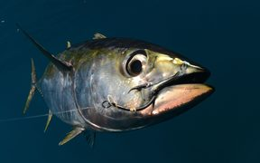 20445954 - a yellowfin tuna fish with a hook in its mouth from fishing